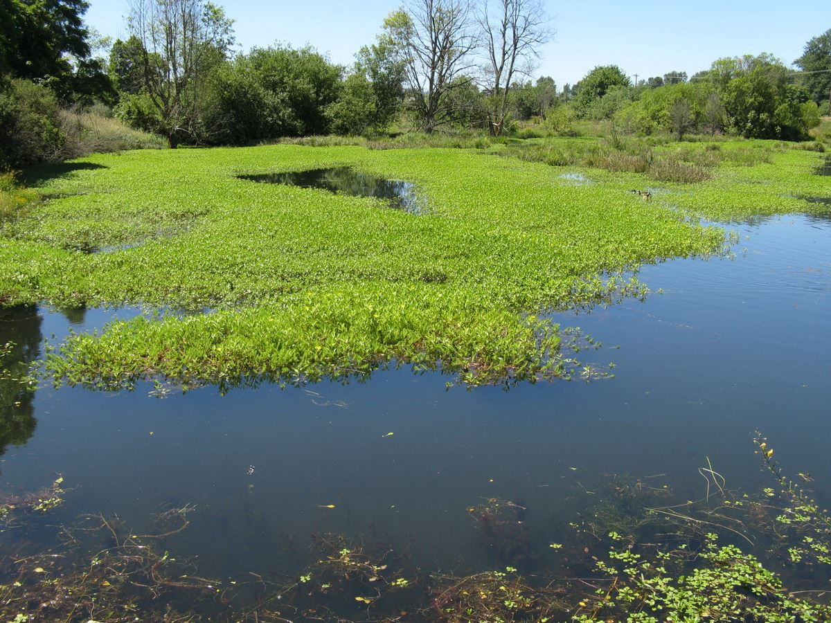 Ludwigia overgrowth at Delta Ponds