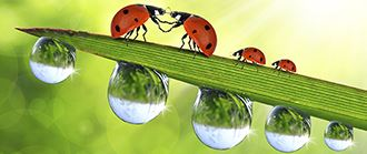 Kissing ladybugs and water drops on a leaf