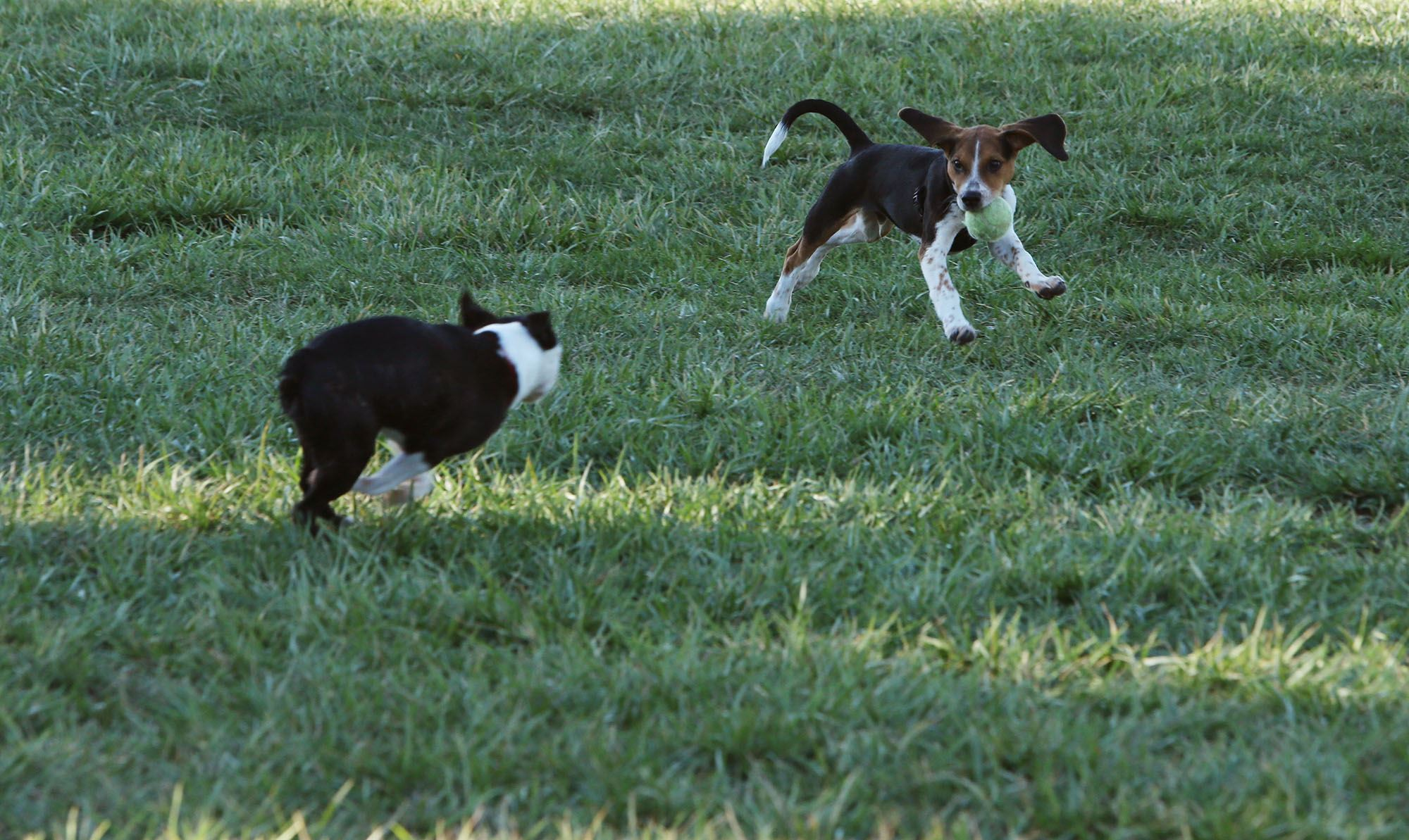 Two small dogs playing off leash
