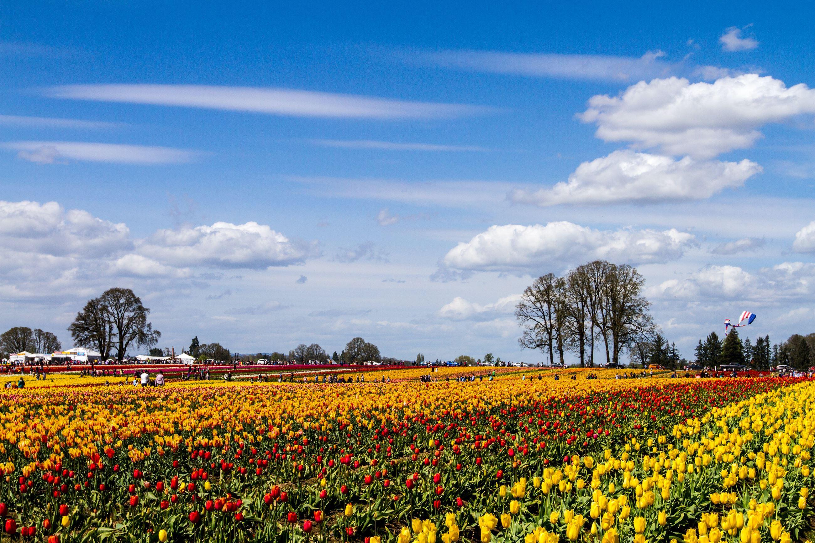A field of tulips in Oregon.