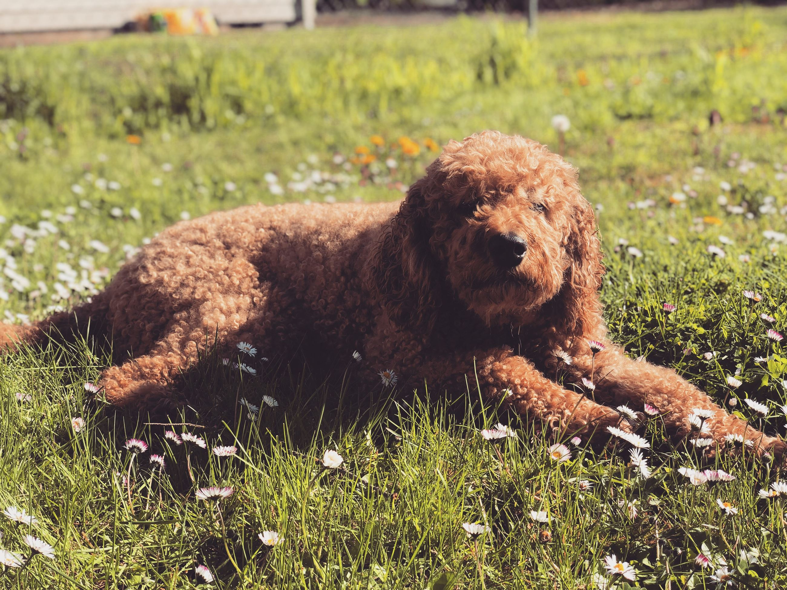 Tucker the labradoodle lays out in the sun.