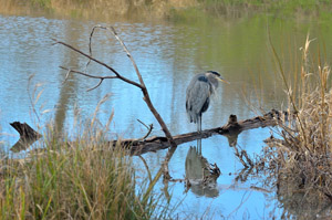 delta ponds heron