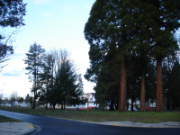 Large trees in Ruby Park